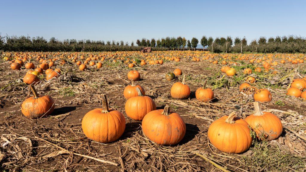 Pumpkin filled pumpkin patch 2019