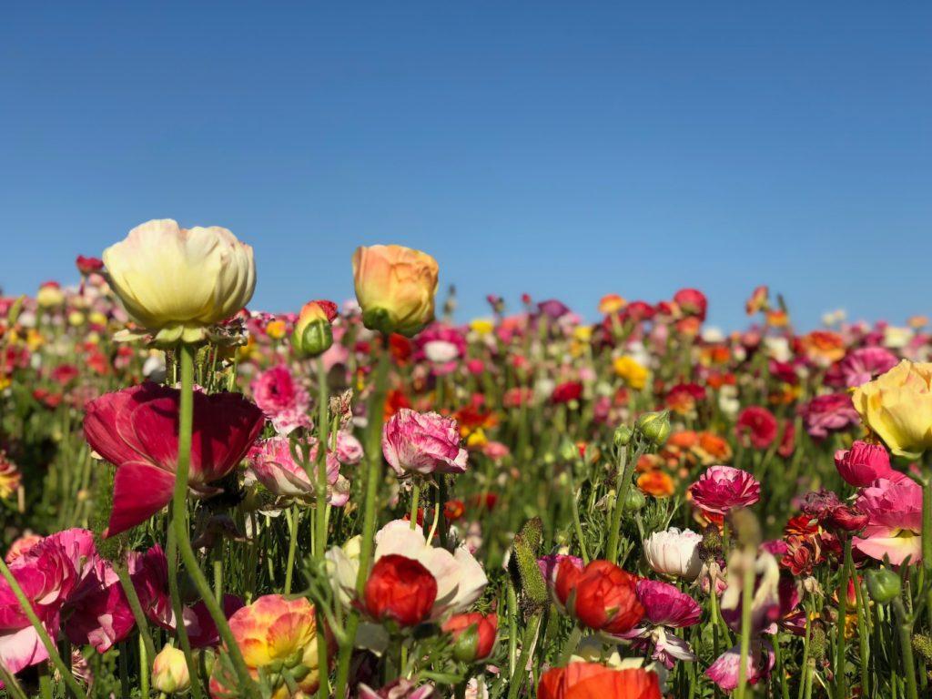 Carlsbad flower fields in Spring in San Diego