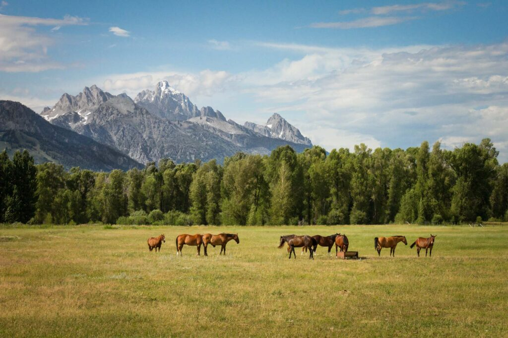 Horses in a grass field in front of mountains.